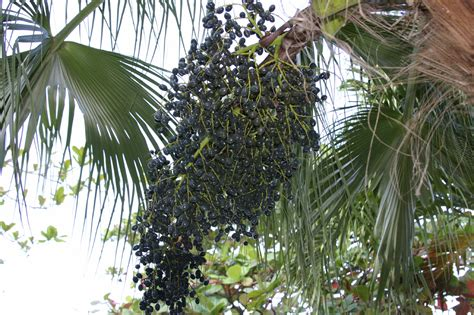 acai berry tree picture 1