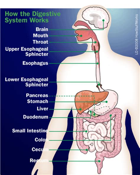 digestion how does it work picture 10