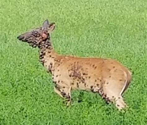 deer with warts picture 1