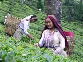 madagascar women and tea plantation picture 13