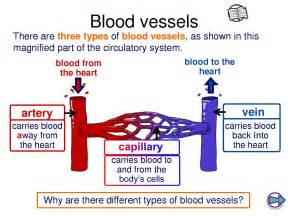 blood vessel circulation picture 5