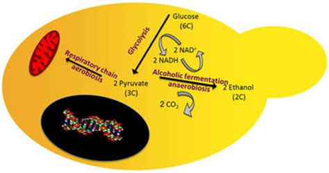 yeast metabolism picture 15