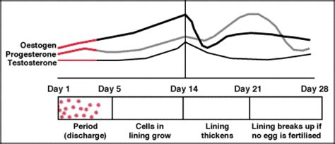 testosterone in menstrual cycle picture 5