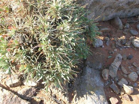 african hoodia cactus picture 13