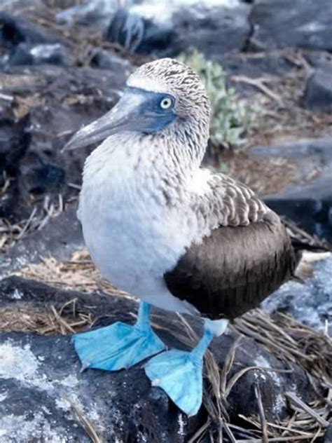 blue footed diet picture 1