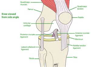 labelled diagram of a knee joint picture 1