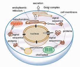 testosterone function inside a cell by picture 19