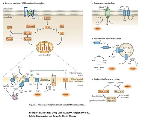 mechanism of actions of anti obesity drugs picture 15