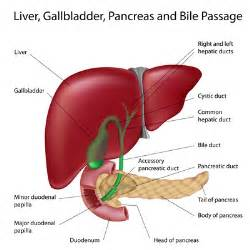 where does digestion occur in the liver picture 3