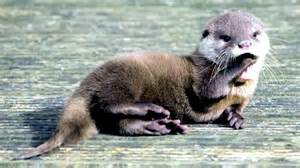 diet baby river otters picture 2