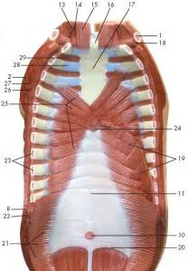 muscle that covers the chest and abdominal picture 2
