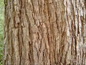 slippery elm bark picture 3