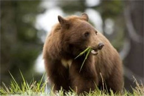 adirondack black bear sleep habits in spring picture 2