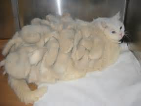 persian cats skin disorders picture 8