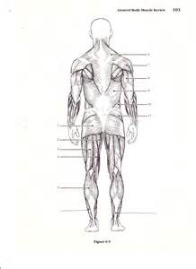 human muscle diagram picture 7