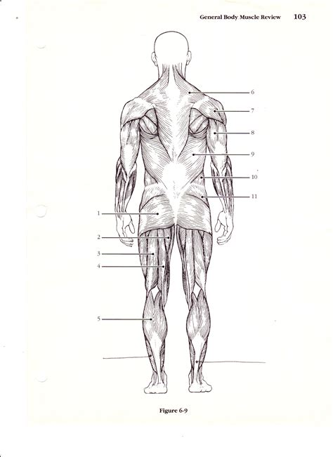 human muscle diagram picture 14