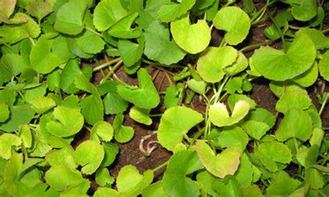 ayurvedic herb brahmi and its bengali cousin herb picture 5