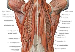 anatomy deep back muscle picture 11