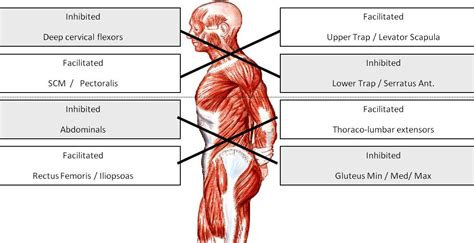 agonist and antagonist muscles list picture 14