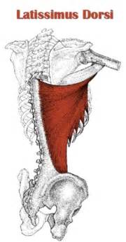 latissimus muscle picture 5