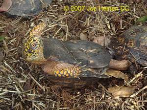 box turtles diet picture 5