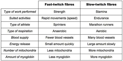 fast twitch and slow muscle fibers picture 2
