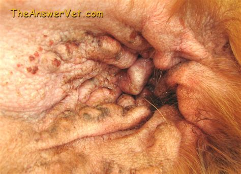 yeast ear infection picture 9