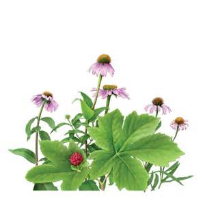 echinacea and goldenseal tea benefit picture 5