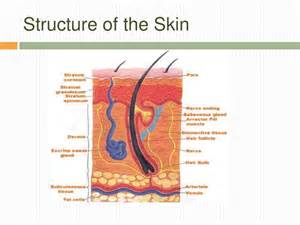 ffour protective funnctions onf the skin picture 17