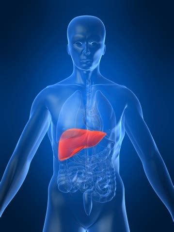 location of the human liver picture 6