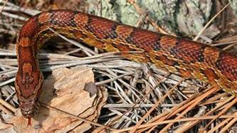 loss of appee in corn snakes picture 5