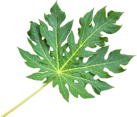 Papaya Leaf picture 3