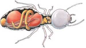 ant's food digestion picture 5