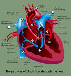 animation of blood flow though heart picture 13