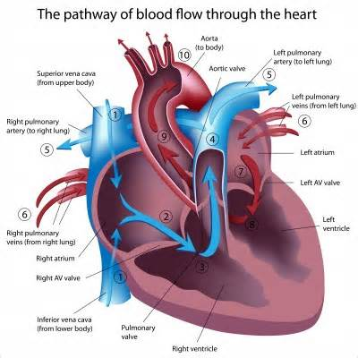 please review blood flow to and from the picture 5