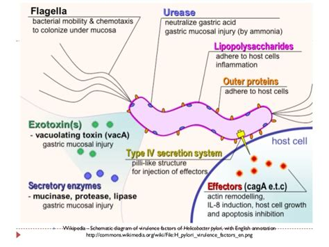 what is bacterial virulence picture 5