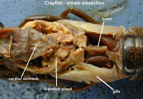 cray chitnous teeth picture 7