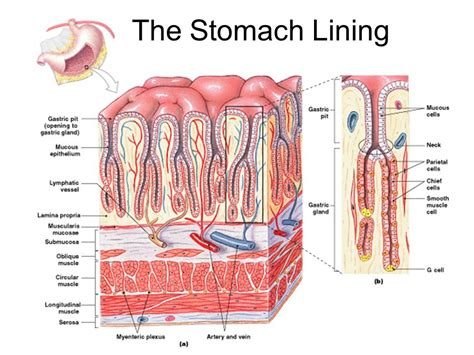 mucus lining stomach protectants picture 9