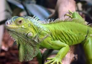 iguana skin health picture 2