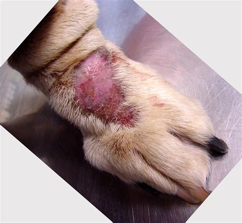 canine skin disease picture 2