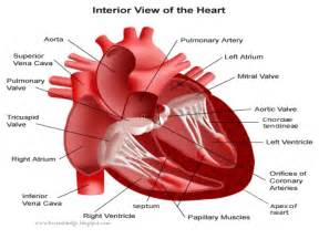 heart blood flow picture 6
