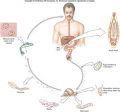 liver fluke life cycle picture 9