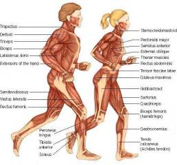 female vs male muscle comparation picture 5