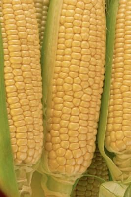 human digestion of sweet corn picture 9