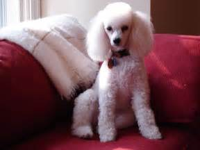how to cut poodles hair picture 2