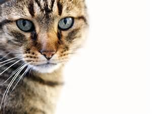 diabetes mellitus cats treatment picture 5