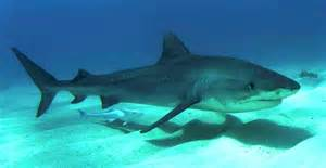 pics of tiger sharks h picture 3