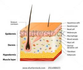 diagram of how oil penetrates skin picture 19