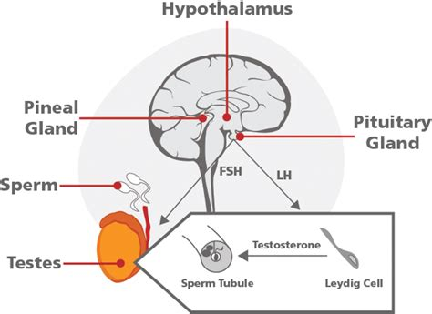pituitary gland testosterone treatment picture 1