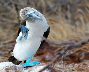 blue footed diet picture 11